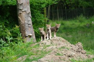Wolf puppies at the top by Nashoba67