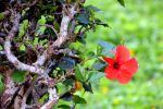Hawaii's State Flower by Zilenna