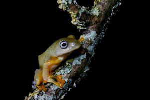 Flying frog juvie on twig by AngiWallace