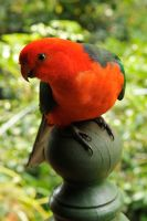 Male king parrot 1 by wildplaces