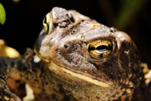 Portrait of a Toad by Souzay