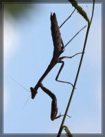 Carolina Mantis 40D0022937 by Cristian-M
