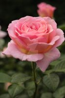 Pink Rose 2 by Fencerpts