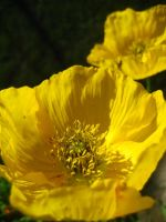 Poppies of Sunburst by Cao