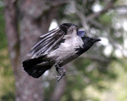 Flying crow by kay944