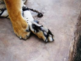 Tiger Paws by Bougel