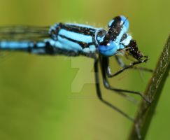 Eating Damsel Fly by spitfire900