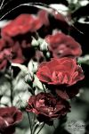 Roses... by LNous