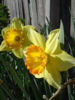 two daffodils by kayne-stock