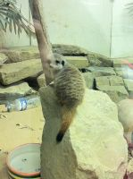 Meerkat (2) by emmys-stock