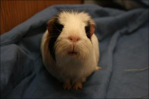 My new guinea pig Cookie by WhisperedLitany08