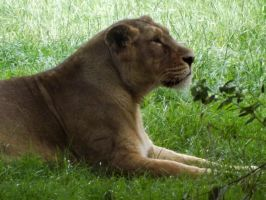 2014 - Asiatic lioness 18 by Lena-Panthera
