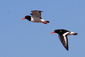 Oystercatchers by Cantabrigian