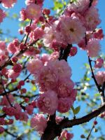 Cherry Blossoms 2 by lenslady
