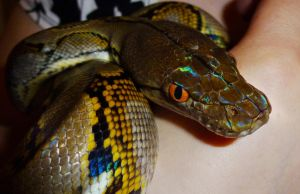 Retic male by mant01