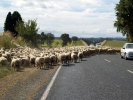 Sheep on road 2 by OWTC-Stock