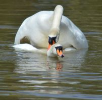 Swans 2014 1 6 by melrissbrook