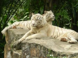 white tigers by leonardosgirl