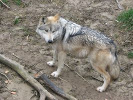 Mexican Wolf by MattCal13