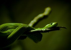 Green Snake by Kalasus