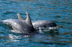 Bottlenose Dolphins by Shadow-and-Flame-86