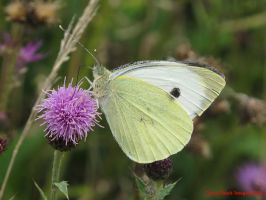 Small White by Terrydunk