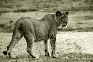 Graceful lioness by NB-Photo