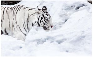 Tigress In the Snow by OrangeRoom