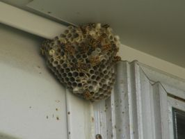 Paper Wasp Nest by cas20