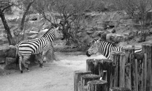 Zebras by Chris01125