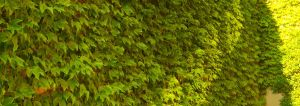 Ivy on the walls by Phaedris