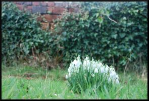 Snowdrops by PlasticusForkus