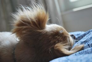 long-haired chihuahua 4.1 - ear fluff by meihua-stock