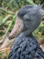 shoebill by Yair-Leibovich