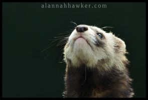 Polecat 02 by Alannah-Hawker