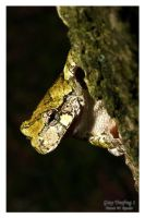 Gray Treefrog 1 by shaggz86