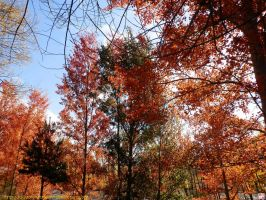 The colours of fall: Red leaves 2 by kawano-katsuhito