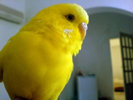 Budgie by sc189