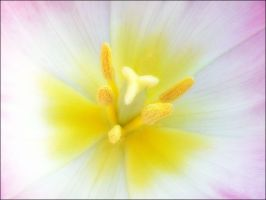 TULIP CLOSE UP by THOM-B-FOTO
