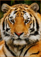 Tiger Painting by chamirra