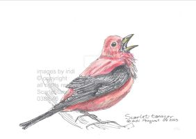 Scarlet-tanager038 by SarmatianWarrior