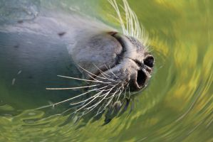 Seal Whiskers by Satriver