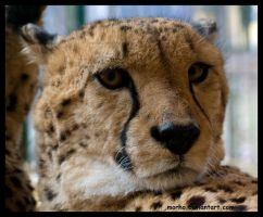 cheetah portrait by morho