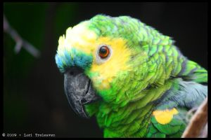 Blue Fronted Amazon Parrot by Vamppy