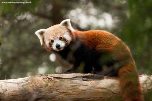 Red Panda by IllusionoftheDay