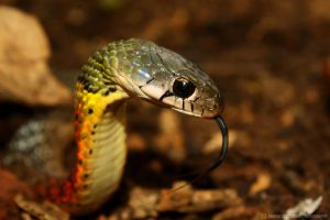 Red - Necked Keelback by septle2