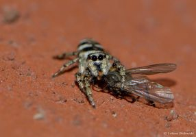 Jumping spider with pray (Salticus scenicus) by LukaszNature