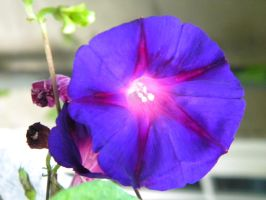Morning-glory Aglow by D905