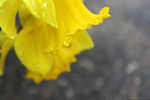 Yellow Drops by softmist93
