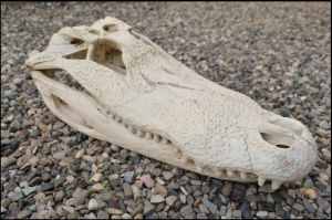 American Alligator Skull by Lupen202